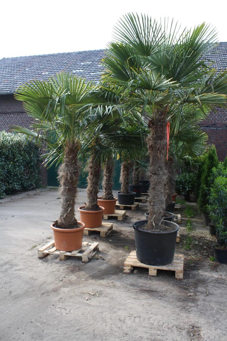 Palme - Trachycarpus Fortunei