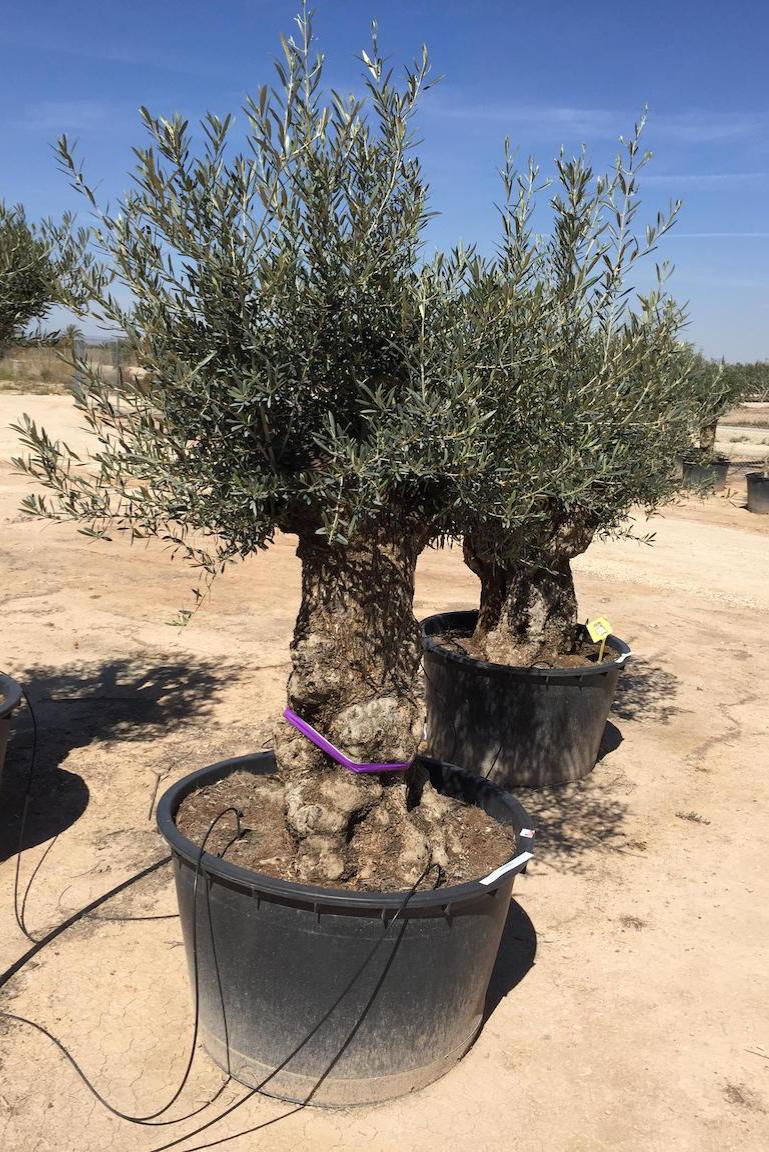 Olive - Olea Europaea - Mediterrane Pflanze