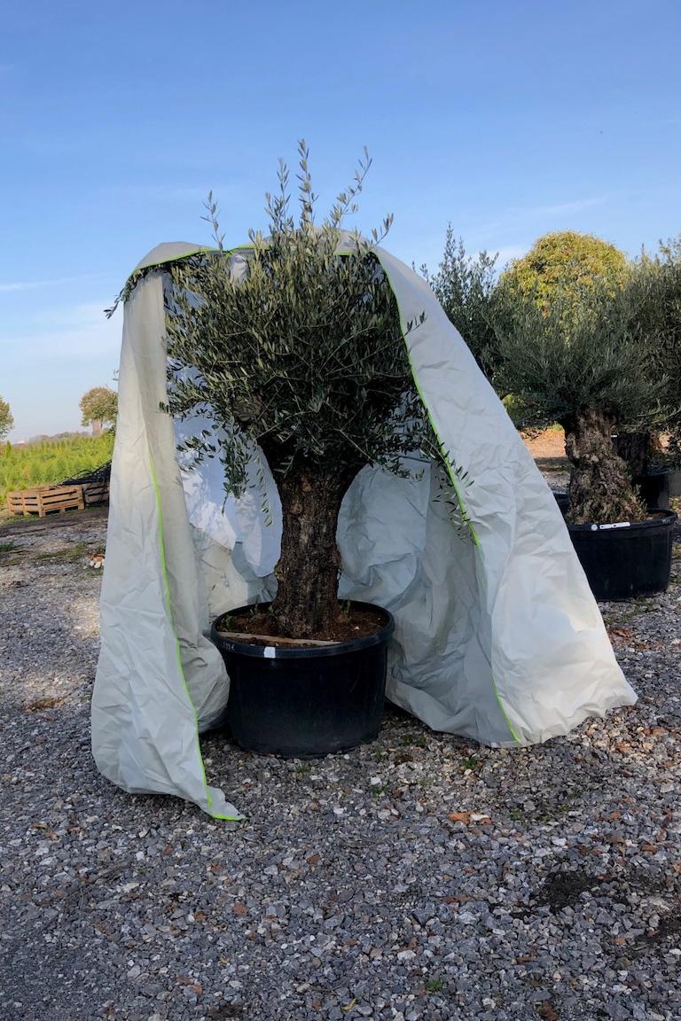 Winterschutz für mediterrane Pflanzen